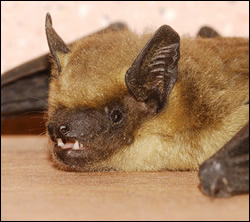 bat removal Rowlett