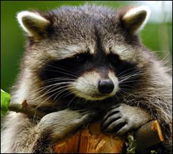 raccoon removal Rowlett