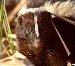 skunk removal Rowlett